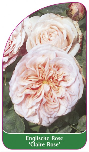 Englische Rose 'Claire Rose', 68 x 120 mm