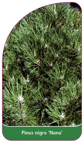 Pinus nigra 'Nana', 68 x 120 mm